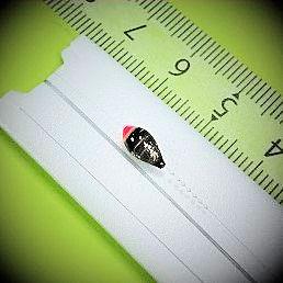 画像2: 新作ポン太工房プロトタイプの中通し浮き仕掛け 山吹 蛍光ピンク(トップ)/黒(ボディ)  モノスレッドスモーク
